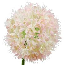 Allium crème-rose Ø 14 cm L. 65 cm