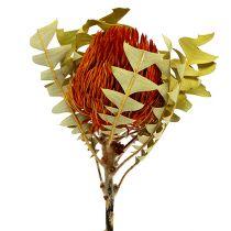 Banksia Baxterii Orange 8 pièces