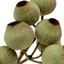 Branche de Bellgum 4-14 têtes 20 p.