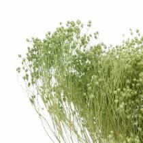Fleurs séchées Broom Bloom vert clair 150g