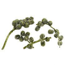 Cônes de Casuarina cirés verts 110 g