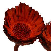 Rosace Compacta orange (37) 40pcs