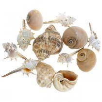 Coquilles décoratives et coquilles d'escargot vides blanc, décoration naturelle maritime 350g