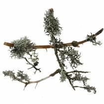 Mousse de lichen Mousse grise avec brindilles 750g