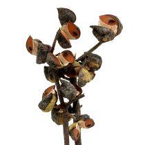 Hakea medium naturel 5-9 têtes par branche 20pcs