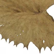 Feuilles de lotus séchées nature sèche décoration nénuphar 50pcs