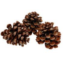 Pinus Pinea moyen 10 / 14cm nature 50p