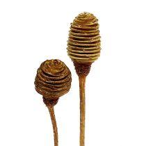 Platyspermum Creme 1-3, 50 têtes
