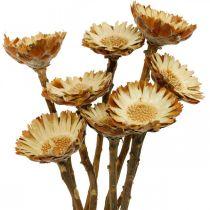 Protea Compacta Rosette Sucrerie de fleurs séchées naturelles 8pcs
