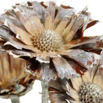 Mélange exotique Protea Rosette Naturel, Fleur séchée lavée blanche 10pcs