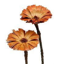 Repens rosette naturel 6-7cm 50pcs