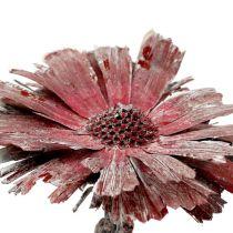 Protea rosace bruyère dépoli Ø8-9cm 25pcs