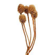 Sabulosum 4-6 têtes par branche 25pcs