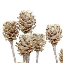 Salignum blanchi 25 p.