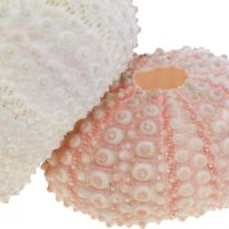Maritime Deco Boîtier Oursin Rose, Blanc Scatter Deco 55pcs