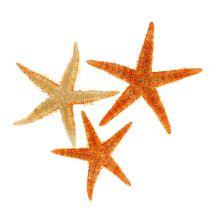 Étoile de mer séchée 8 -10 cm 10 p.
