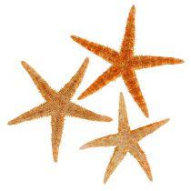 Mélange d'étoiles de mer 8 - 10 cm 50 p.
