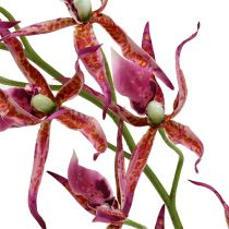 Orchidée Brassia rose vif et orange 108cm 3P