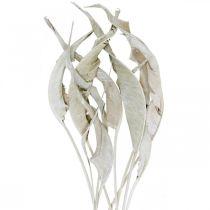 Feuilles de strelitzia lavées en blanc, séchées 45-80cm 10pcs