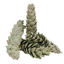 Cônes naturels de pin strobus 15-20 cm verts 50 p.