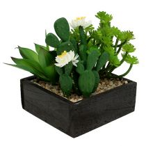 Succulente dans caisse en bois H. 14 cm