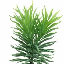 Senecio succulente vertambour 20cm