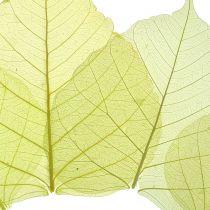 Lot de squelettes de feuilles de saule, jaune, 200 p.