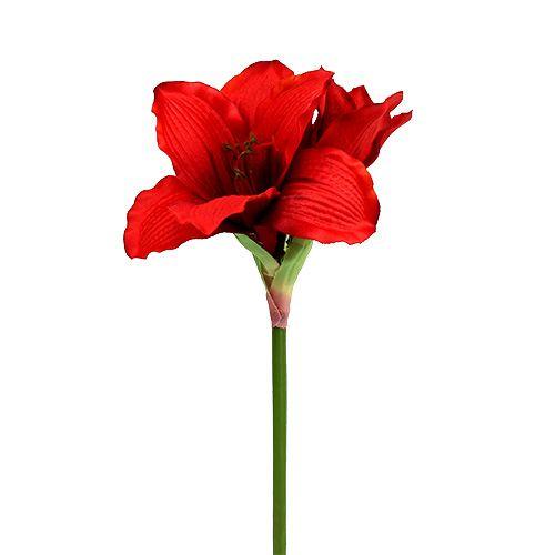 Amaryllis Rouge L 68cm 1pc