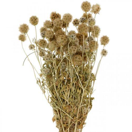 Scabiosa nature séchée Scabiosa fleurs séchées H50cm 100g