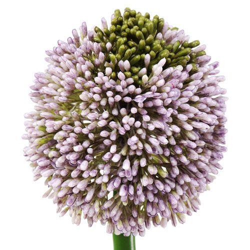 Fleurs artificielles Allium Violet Ø10cm L65cm