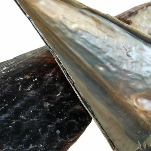 Nacre Pinnidae noir 24 - 30 cm 1 kg