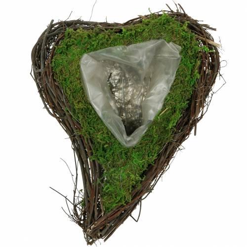 Plante coeur de vigne, mousse 26cm x 36m H9cm