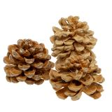 Cônes de pin pinea crème 5-18 cm 25 p.